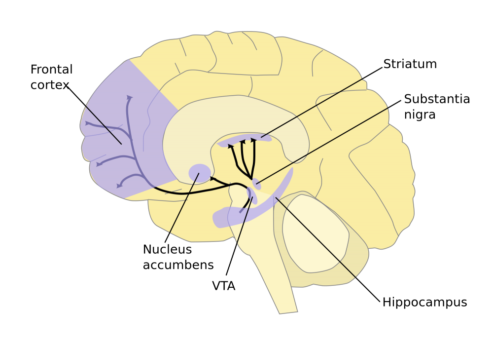 Dopamine Pathways. In the brain, dopamine plays an important role in the regulation of reward and movement. As part of the reward pathway, dopamine is manufactured in nerve cell bodies located within the ventral tegmental area (VTA) and is released in the nucleus accumbens and the prefrontal cortex. Its motor functions are linked to a separate pathway, with cell bodies in the substantia nigra that manufacture and release dopamine into the striatum.